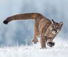 Mountain Lion Photo by Pavel Blazek