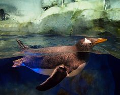 Gentoo Penguin -  Tennessee Aquarium,   Chattanooga TN
