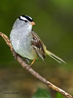 White Crowned Sparrow by Gerald Marella