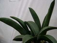 Sansevieria sinus-simiorum  Start with the adult leaves .. CG093.1