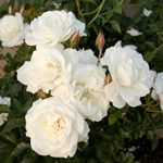 'Blanc Double de Coubert'. Vigorous antique that produces extremely fragrant, semidouble blooms in clusters. A good repeat bloomer, it grows up to 7 feet tall. Zones 3-9