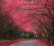 Jacarandas – the world's most beautiful tree - Share Wonders World's Most Beautiful, Beautiful World, Beautiful Places, Absolutely Gorgeous, Beautiful Flowers, Beautiful Roads, Beautiful Forest, Beautiful Park, Beautiful Scenery