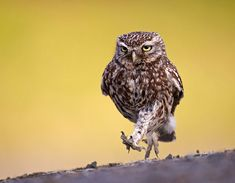 A Little Owl out for an evening stroll by Austin Thomas - The 100 greatest owl pictures you'll ever see Owl Photos, Owl Pictures, Beautiful Owl, Animals Beautiful, Owl Species, Funny Animals, Cute Animals, Wild Animals, Cute Owl