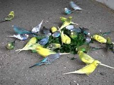 Budgies attack on Dandelion.MPG - YouTube