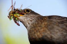 Jaarlijks verdwijnt 500 miljoen ton aan insecten in de snavels van vogels - NRC