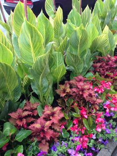 Tall Variegated Cannas Provide A Beautiful Backdrop For Coleus, Begonias  And Petunias In A Niagara On The Lake Sidewalk Display.