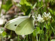 Small white, Järvselja Forest, 06/Jul/2016.