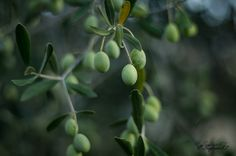 just olives