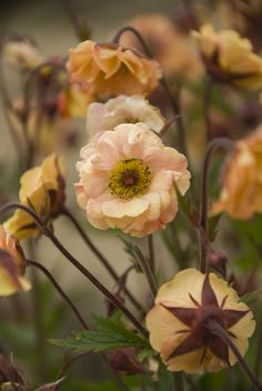 Geum 'Mai Tai' (Avens) Read the up on the history of flowers to be inspired for your wedding day flower choice. www.hillendpress.com.au