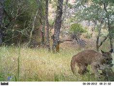 Remote Camera Photo of the Week: Puma Cub Practices Hunting Skills on a Deer Fawn in South Bay Area, CA    Photo courtesy of Bill C.    Every week, we post a photo from our remote camera research database from the Bay Area Puma Project and from photos shared with us.    To submit a photo for Photo of the Week, email info@felidaefund.org! If your photo is chosen, we will send you a Bay Area Puma Project water bottle    See the next photo in the sequence in our next post!