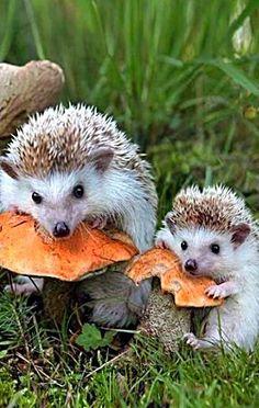 hedgehogs munching of wild mushrooms Hedgehog Pet, Cute Hedgehog, Cute Baby Animals, Animals And Pets, Funny Animals, Beautiful Creatures, Animals Beautiful, Mundo Animal, Tier Fotos