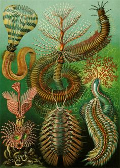 Ernst Haeckel : Art Forms of Nature Lithographic and Autotype prints 1899 -1904. #ernsthaeckel #haeckel #art #drawing #nature