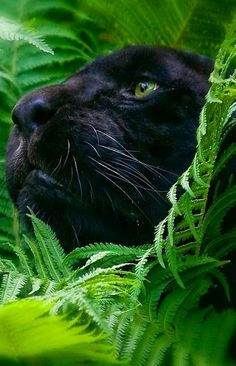 "Pantera Negra ""So beautiful"" Big Cats, Cool Cats, Cats And Kittens, Siamese Cats, Beautiful Cats, Animals Beautiful, Black Panther Cat, Baby Animals, Cute Animals"