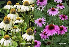 Purple and white coneflower Rainforest Plants, Drought Resistant Plants, Border Plants, Plant Sale, Outdoor Projects, Spring Time, Shrubs, Outdoor Gardens, Outdoor Living