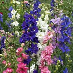 Assorted Larkspur - Larkspur - Flowers and Fillers - Flowers by category | Sierra Flower Finder