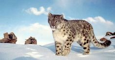 Just Pinned to Animals: The beautiful snow leopard remains one...