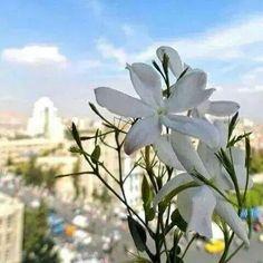 Damascus. Syria/Cham Jasmine