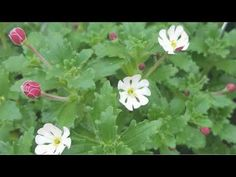 Zaluzianskya is a genus of flowering plants now regarded as being a member of the Scrophulariaceae, the figwort family. The genus is endemic to Southern Afri. Garden Plants, Vegetables, Youtube, Vegetable Recipes, Youtubers, Veggies, Youtube Movies