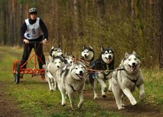 """Résultat de recherche d'images pour """"canicross husky"""""""