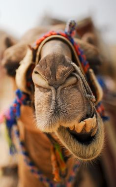One of Jordan's most handsome camels. there are plenty of colorfully-clad camels to ride at our USAID SCHEP site in Petra, the Temple of the Winged Lions Camel Tow, Animals And Pets, Funny Animals, Cute Animals, Funny Animal Fails, Alpacas, Mundo Animal, Cairo Egypt, Tier Fotos