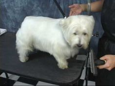 how to groom a Westie (remember this for the little boys!)