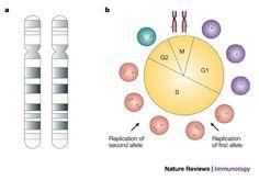 A stepwise epigenetic process controls immunoglobulin allelic exclusion  (Credit: Yehudit Bergman and Howard Cedar, Nat Rev Immunol) #NPG #sub