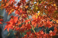 Acer en otoño