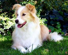 Red border collie. Our dog we will have when we are married