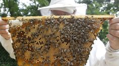 12/26/2013 - A new suspect in bee deaths: the US government - As scientists race to pinpoint the cause of the global collapse of honey bee populations that pollinate a third of the world's crops, environmental groups have indentified one culprit: US authorities who continue to approve pesticides implicated in the apian apocalypse.
