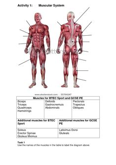 blank muscle diagram to label 1998 honda civic wiring of the eye human anatomy organs pinterest muscular system muscles body inspirational