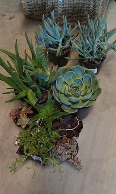 SUCCULENTS from Lowes via Flickr