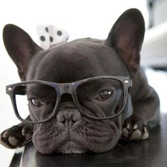 This is Auggie the French Bulldogs' Pre-work Monday face 👓👀😍 @auggie_thefrenchie