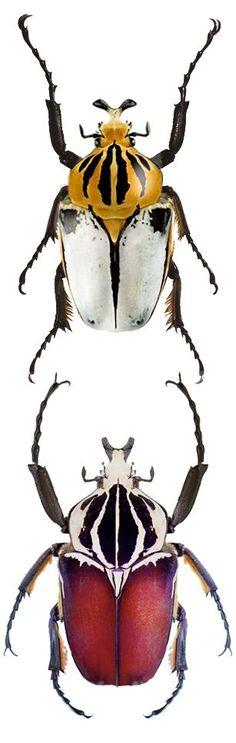 Goliathus cacicus; Goliathus gigantheus