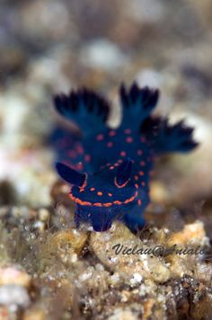 Underwater Photographer Vic Lau's Gallery: Nudibranch: Nudibranch - DivePhotoGuide.com