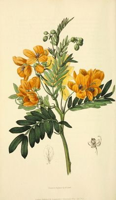 Flora conspicua London :Longman, Rees, Orme, Brown, and Green,1826. biodiversitylibrary.org/page/7372234