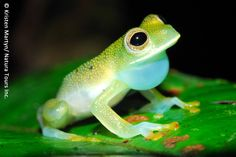 glass frogs pictures | Cochranella granulosa | Amphibian Rescue and Conservation Project