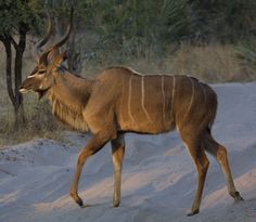 Young Kudu Bull, Okavango, Botswana, taken and submitted by Paul Maritz (paulmaz)