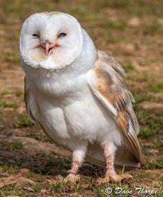 Huhu! - Owl
