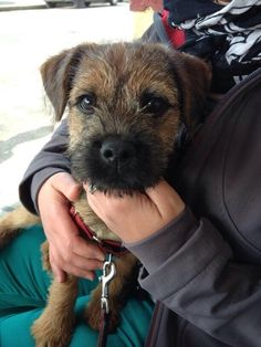 Skipper BT 13 weeks old Big Dogs, Small Dogs, Dogs And Puppies, All Breeds Of Dogs, Best Dog Breeds, Cute Boarders, Funny Dogs, Cute Dogs, Border Terrier Puppy
