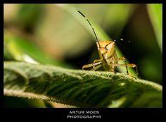 Percevejo  #nature #naturephotography #fotografiadenatureza #natureza #vidaselvagem #wildlife #biodiversity #biodiversidade #rainforest #mataatlantica #artopode #artrophod #inseto #insect #bug #percevejo #hemiptera #ArturMoes #RioDeJaneiro #BioCenas