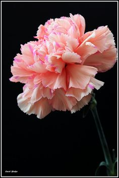 carnation....my momma's favorite flower.  RIP momma!!  I miss you!!!