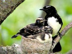 Willy Wagtail & her chicks