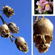 Snapdragons make cute flowers, but when they die, they turn into macabre skulls.