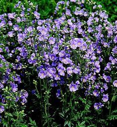 POLEMONIUM BAMBINO BLUE, WHITE, MIXED, PLUG PLANTS PERENNIALS JACOBS LADDER