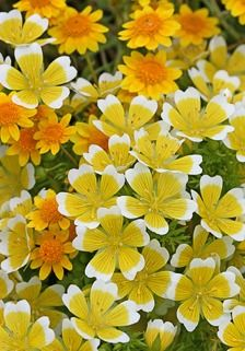 "Limnanthes douglasii ""Meadow Foam"" blessed with the most delightful scent – like Narcissus! Not fussy about soil, it spreads into a low, shiny, weed– suppressing mat to 30"" across. Superb as edging and swell in pots (at least 10"" across). Reseeds! Very Showy! Sun to partial shade."