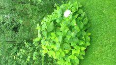 Pallohortenssiasta näkee lannoitetut puolen. Laitoin oikealla kourallisen hepopeölettejä. Ja kas, yksi kukka ja vihreämmät lehdet. Ensi vuonna en nuukaile!