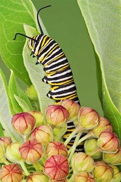 Lend a hand to monarchs by adding this plant to your garden.