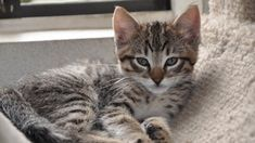 Origin Of Tabby Cats #cat #cats #pets #TabbyCat
