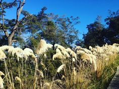 Spotted these rushes and thought they made artistic shot. #Queenstown #photography #iphonegraphy