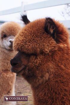 I don't see anything! Hello?! #alpaca #coniraya #alpakino #alpacas